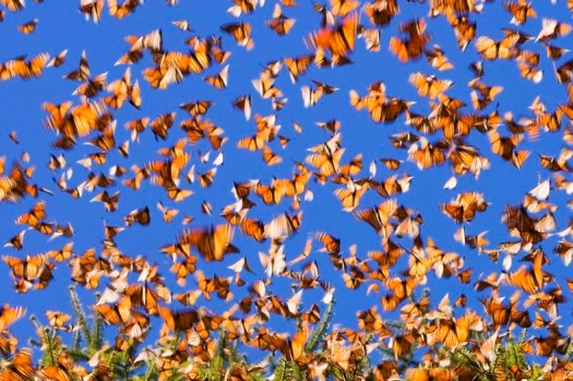 monarch-migration-176