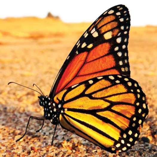 monarchbutterflyv1jpg